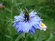 Sandra Martin - Love in a Mist - Flower