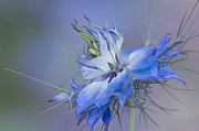 Orientation Metal Prints - Love-in-a-mist Metal Print by Jacky Parker