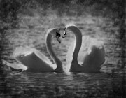 Swans... Prints - Love is.. Print by Nina Stavlund