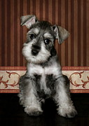 Miniature Schnauzer Puppy Posters - Love Me Poster by Angelgold Art