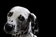Dalmation Prints - Love Me Print by Darcy Evans