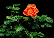 Orange Rose Prints - Love Silently Print by Benjamin Yeager