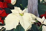 Delicate Photos - Love that Poinsettia by Sweet Moments Photography                 