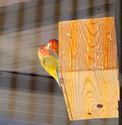 Lovebird Photos - Lovebirds by Jose Elias - Sofia Pereira