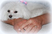 Toy Maltese Prints - Loved Print by Mary Beth Landis