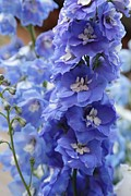 Blue Delphinium Framed Prints - Lovely Delphinium Framed Print by Carol Groenen
