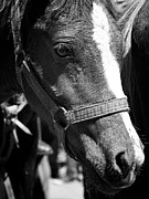 Portrair Prints - Lovely Foal Print by David Resnikoff