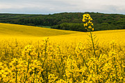 Yellow Photographs Photos - Lovely hills by Davorin Mance