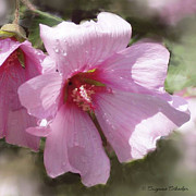 Pink Blossoms Framed Prints - Lovely Lavatera II Framed Print by Suzanne Schaefer