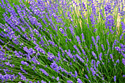 Purple And Green Photos - Lovely Lavender by Carol Groenen
