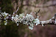 Tori Lawrence Framed Prints - Lovely Lichen Framed Print by Victoria Lawrence