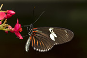 Bryan Keil - Lovely Longwing
