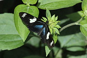 Rosanne Jordan - Lovely Longwing Butterfly