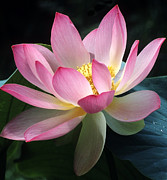 Lotus Leaves Prints - Lovely lotus Print by Elvira Butler