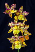 Exotic Orchid Posters - Lovely Orchid With Butterfly Poster by Garry Gay