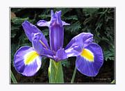 Lovely Purple Iris Print by  Ilona Anita Tigges - Goetze