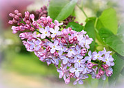 Lilacs Photos - Lovely Purple Lilacs by Carol Groenen