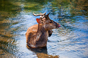 Garden Scene Metal Prints - Lovely Time in Water.  Male Deer in the Pampelmousse Botanical Garden. Mauritius Metal Print by Jenny Rainbow