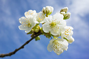 Apple Blossoms Prints - Lovely white apple blossoms on branch Print by Matthias Hauser