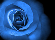 Rain Drop Posters - Loves Eternal Blue Rose Poster by Jennie Marie Schell