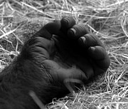 Gorilla Photos - Loving Hand by David Lee Thompson