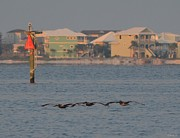 Low-level Pelicans In Echelon Left Formation Print by Jeff at JSJ Photography