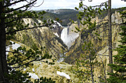 Lower Falls From Artist Point Yellowstone National Park Print by Shawn OBrien