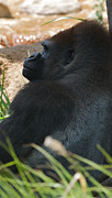African Saint Posters - Lowland Gorilla Profile Poster by Chris Brewington 