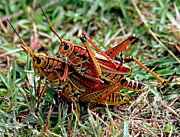 Fauna Metal Prints - Lubber Grasshoppers Mating Metal Print by Millard H. Sharp
