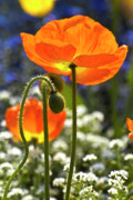 Orange Poppy Prints - Lucid poppy Print by Heiko Koehrer-Wagner