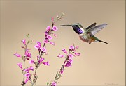 Hummingbird Pyrography Acrylic Prints - Lucifer Hummingbird Acrylic Print by Daniel Behm