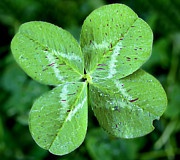 Good Luck Prints - Lucky Clover Print by Brandon Alms