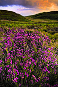 Hilly Framed Prints - Lucky Heather Framed Print by Meirion Matthias