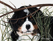 Bernese Mountain Dog Posters - Lucy youve got somesplainin to do Poster by Liane Weyers