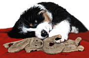 Sleeping Dog Posters - Lullaby Berner and Bunny Poster by Liane Weyers