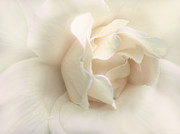 Ivory Roses Posters - Luminous Ivory Rose Flower Poster by Jennie Marie Schell