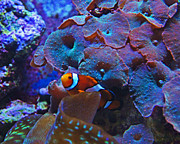 Clown Fish Photos - Luminous Refuge by Joe Geraci