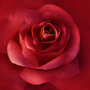 Dark Red Posters - Luminous Scarlet Rose Flower Poster by Jennie Marie Schell