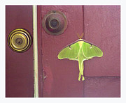 Freen Framed Prints - Luna Moth Framed Print by Alan McCormick