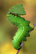 Robert Jensen Metal Prints - Luna moth caterpillar eating Metal Print by Robert Jensen