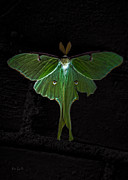 Luna Metal Prints - Lunar Moth Metal Print by Bob Orsillo