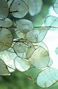 Addie Hocynec Art Photos - Lunaria Money Plant by Addie Hocynec