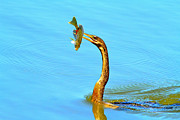 Anhinga Photos - Lunch On The Spear by Deborah Benoit