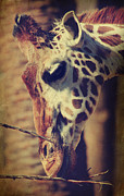 Giraffes Framed Prints - Lunchtime Twigs Framed Print by Laurie Search