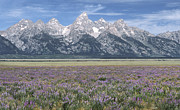Flowers Posters - Lupine and Grand Tetons Poster by Sandra Bronstein