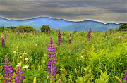 Lupines Framed Prints - Lupine Breeze  Framed Print by Andrea Galiffi
