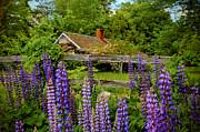 Brenda Giasson - Lupine Cottage