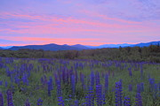 Lafayette Prints - Lupine Field at Dawn Sugar Hill White Mountains Print by John Burk