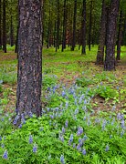 Fir Trees Photo Originals - Lupine Forest by Mike  Dawson