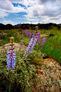 Wildflowers Prints - Lupine Print by Peter Tellone
